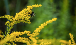 GNP Meadows Goldenrod and Bee